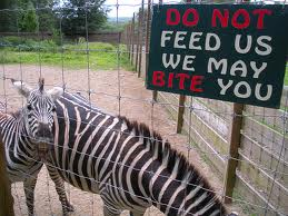 A pissed off zebra