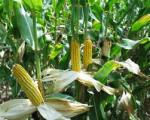 corncrop